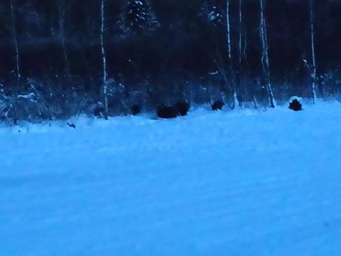 6 wild boars