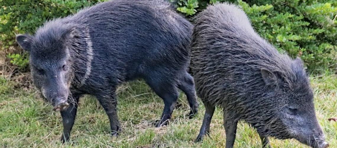 federal hog