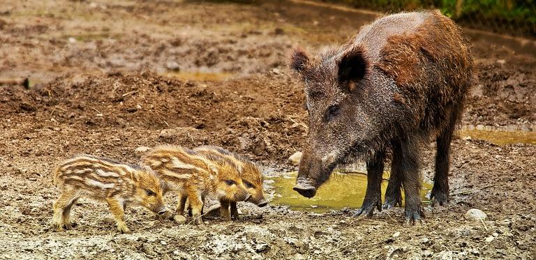 hog meat healthier