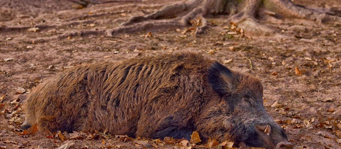 American wild boar