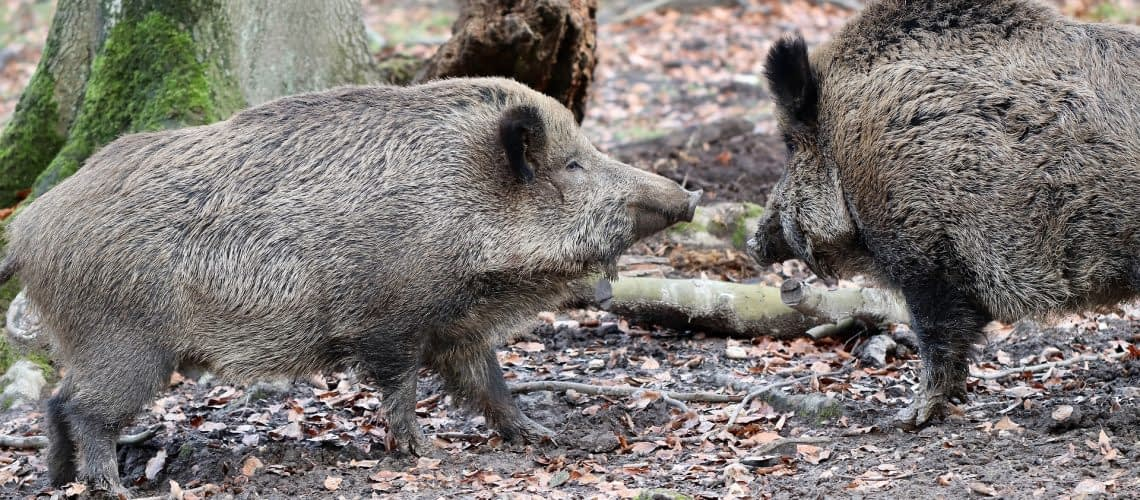 boars attack peoples